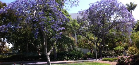 Blooming Jacaranda Trees